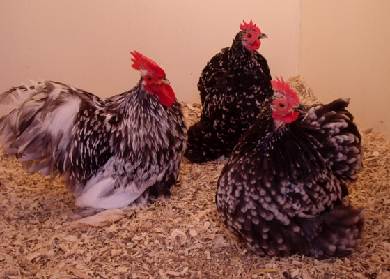 Black Mottled Pekin Bantams trio Poultrymad�