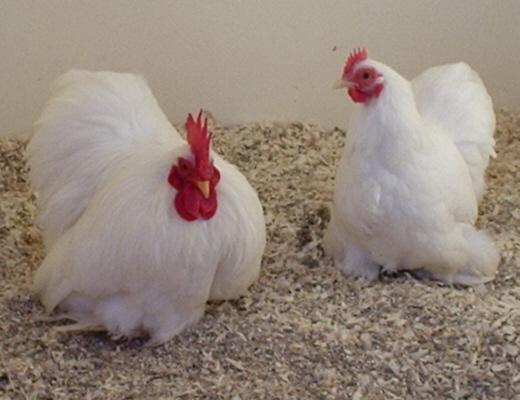 Pekin Bantam Chicken At Poultrymad 169